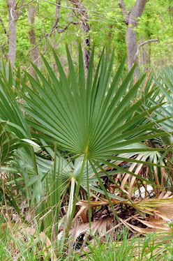 Palmetto, Sabal minor