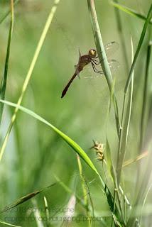 Photo de libellule, un cadrage plus large pour la placer dans son environnement macro au printemps
