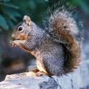 Vjeverica gricka lješnjak download besplatne slike pozadine za mobitele