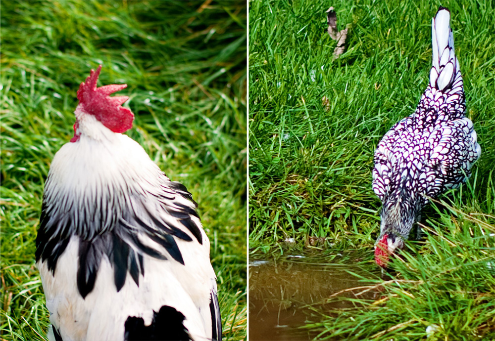 diptych of two roosters each with black and white feathers