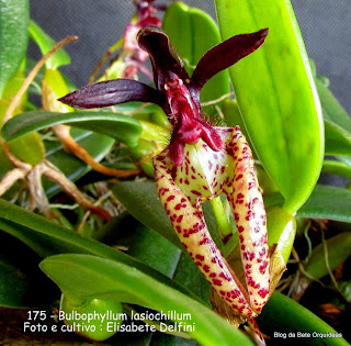 Bulbophyllum lasiochilum do blogdabeteorquideas