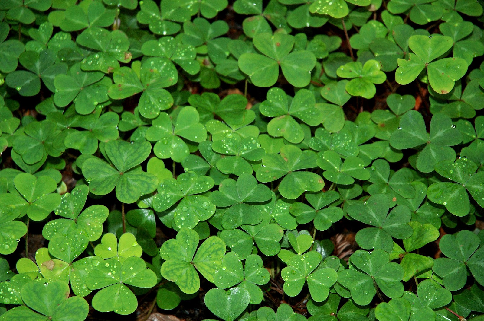 Field of Shamrocks