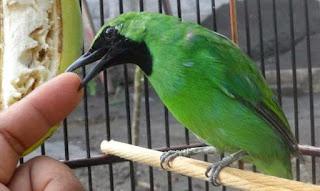 Burung Cucak Hijau : Tips Perawatan Burung Cucak Hijau Agar Cepet Berbunyi