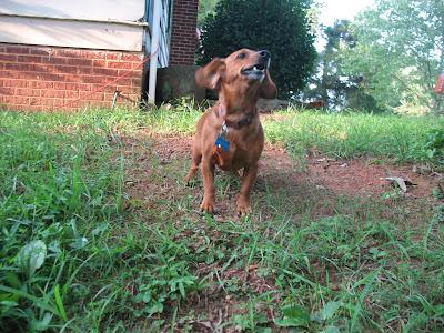 dachshund labrador mix