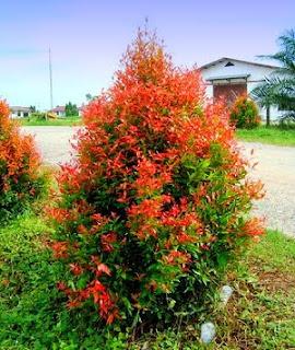 merawat-tanaman-pucuk-merah.jpg