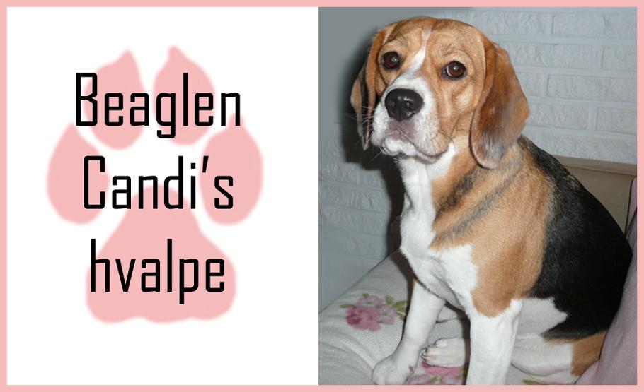 Beaglen Candis hvalpe