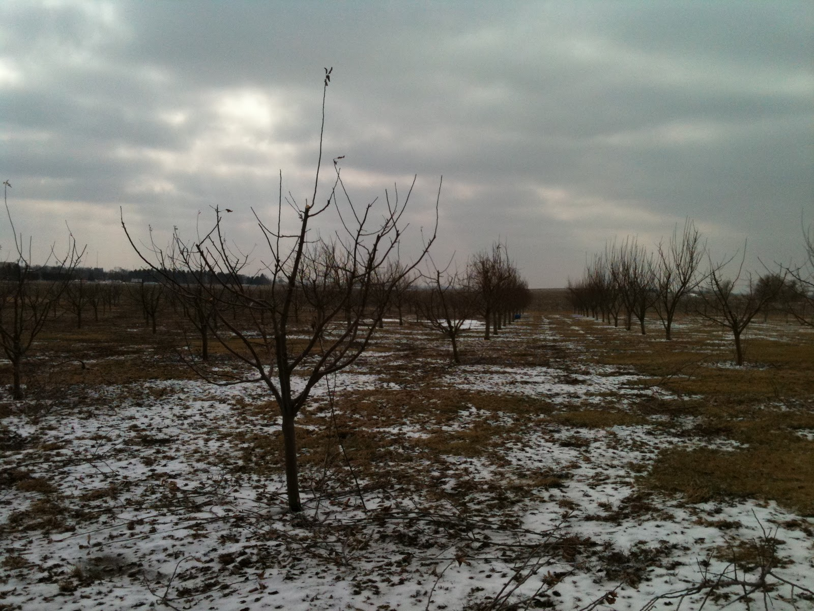 Acquaviva winery orchard pruning season apple trees - Spring trimming orchard trees healthy ...