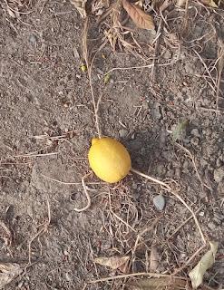 kıbrıs kokulu limon