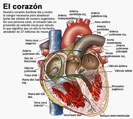 ENFERMERÍA: CARDIOLOGÍA: Anatomía del corazón