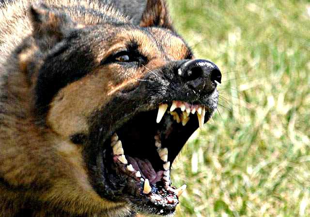 morsure chien