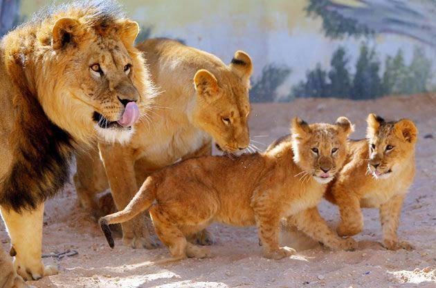 Lion family wallpaper - photo#15