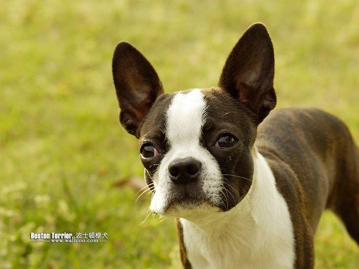 cute dogs boston terrier dog