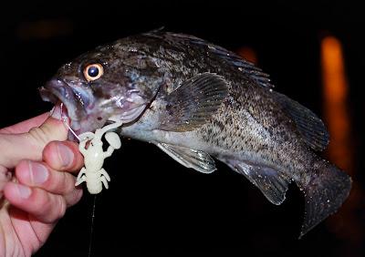 Sebastes Trivitattus, Трехполосый морской окунь на Jackall Baby Dragon
