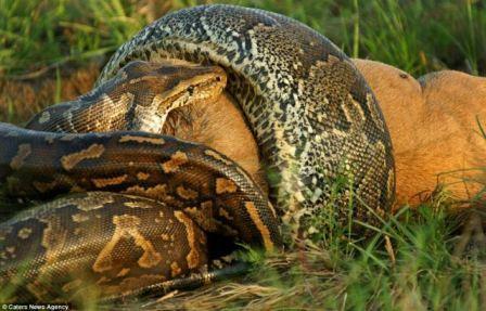 ular terbesar dan terpanjang di dunia