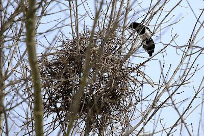 Сорока строит гнездо