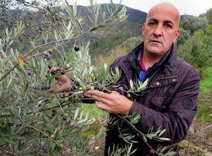 Olivos y aceite de oliva de Galicia