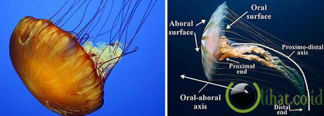 Jellyfish atau Ubur-Ubur (505 juta tahun)