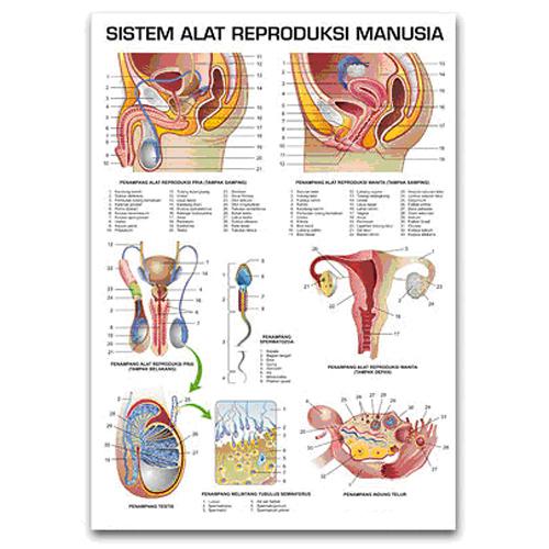 ... organ organ kelamin yang terlibat serta proses yang berlangsung di