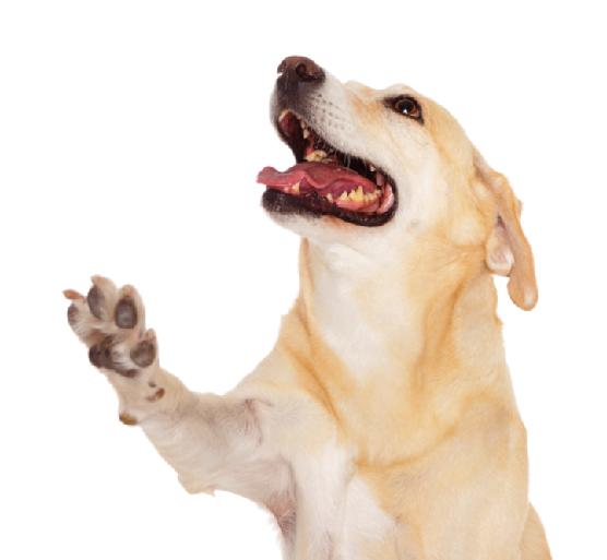 A qu edad un perro es adulto? - ExpertoAnimal