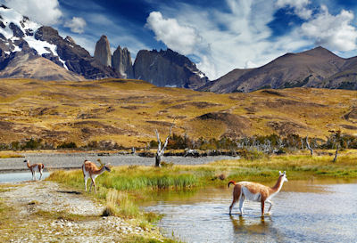 Guanacos en el Parque Nacional Torres del Paine, Chile. (Animales de la Patagonia)