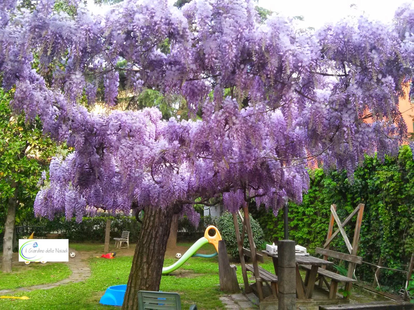 Il giardino delle naiadi glicine pericolosa bellezza for Alberi da giardino sempreverdi