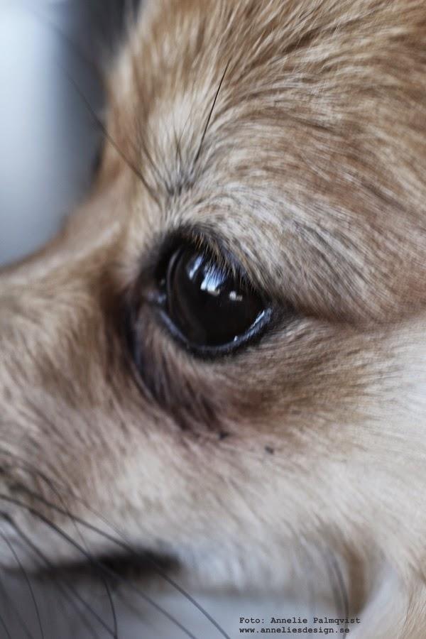 liten hund, pappillon, pomeranian, hund, valp, hundar,