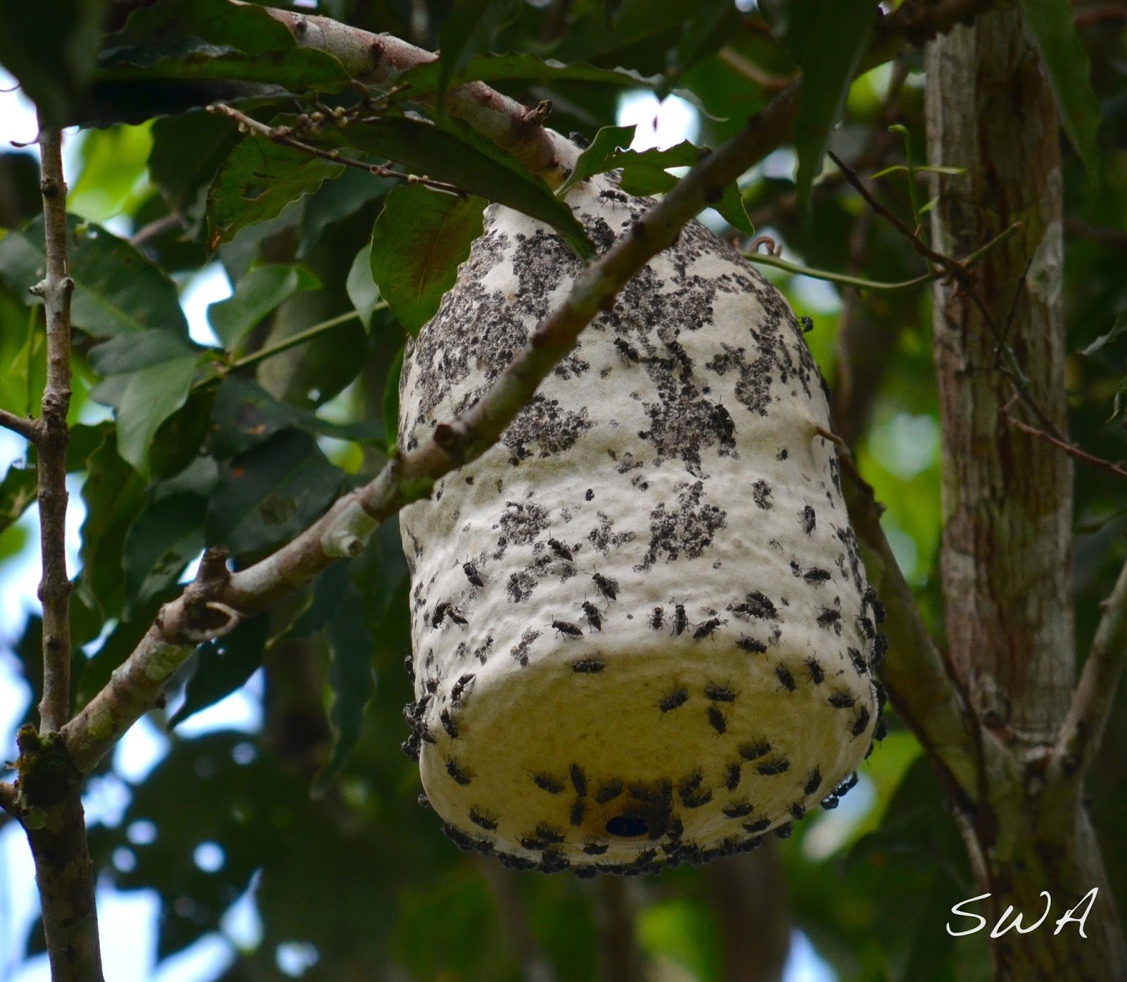 paper wasps nests