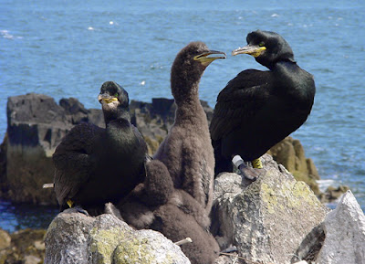 Seabirds on the Isle of May, photo Isle of May Long-Term Monitoring Survey