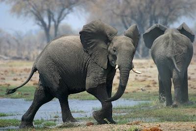 Los pisotones de los Elefantes