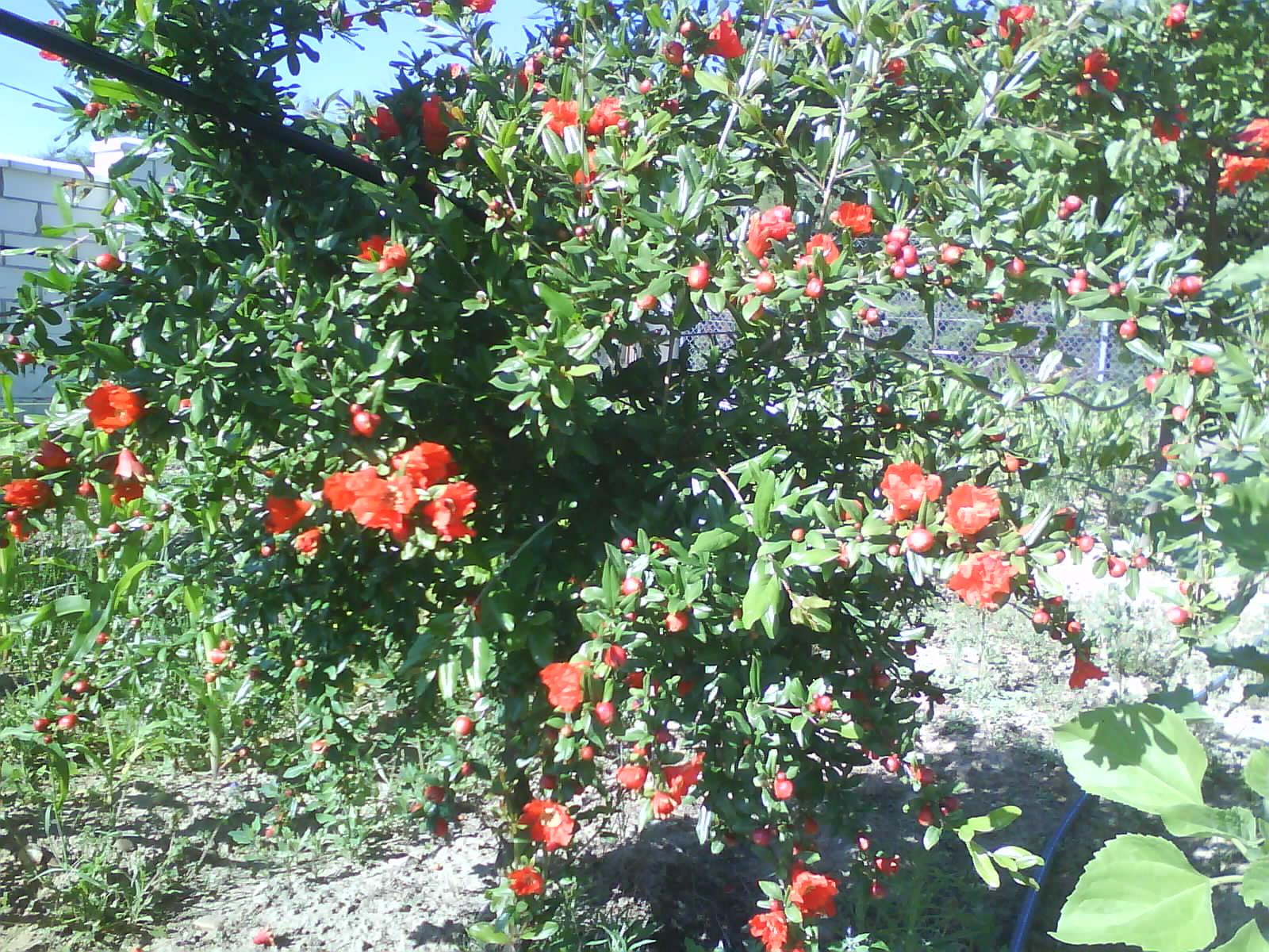 Faenas de la huerta granadas for Arbol granada de jardin