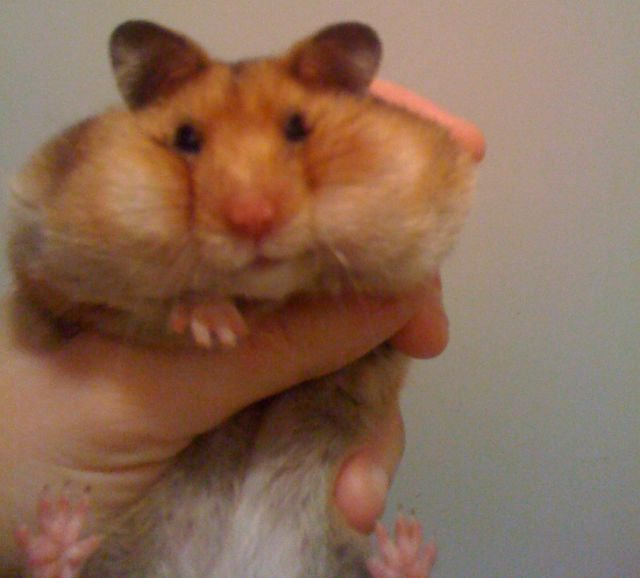 Hamster fofo