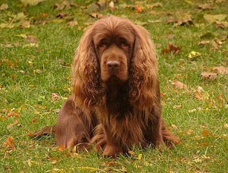 Cute Amp Cool Pets 4u Sussex Spaniel Dog Bird Hunting Dogs