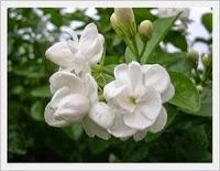 Manfaat bunga melati,khasiat bunga melati