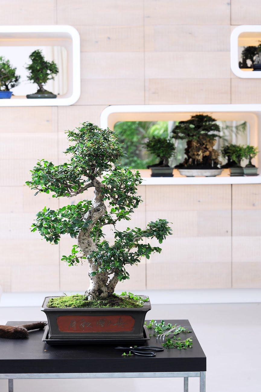 Planta protagonista del mes de marzo bonsai jardiner a y paisajismo paisajismo sostenible - Plantas para bonsai ...
