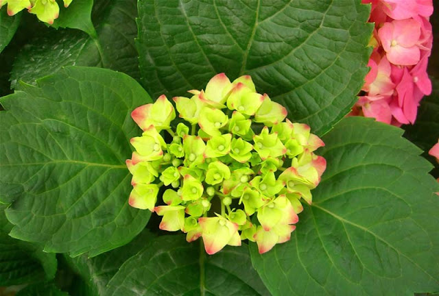 Hydrangea Flowers Pictures