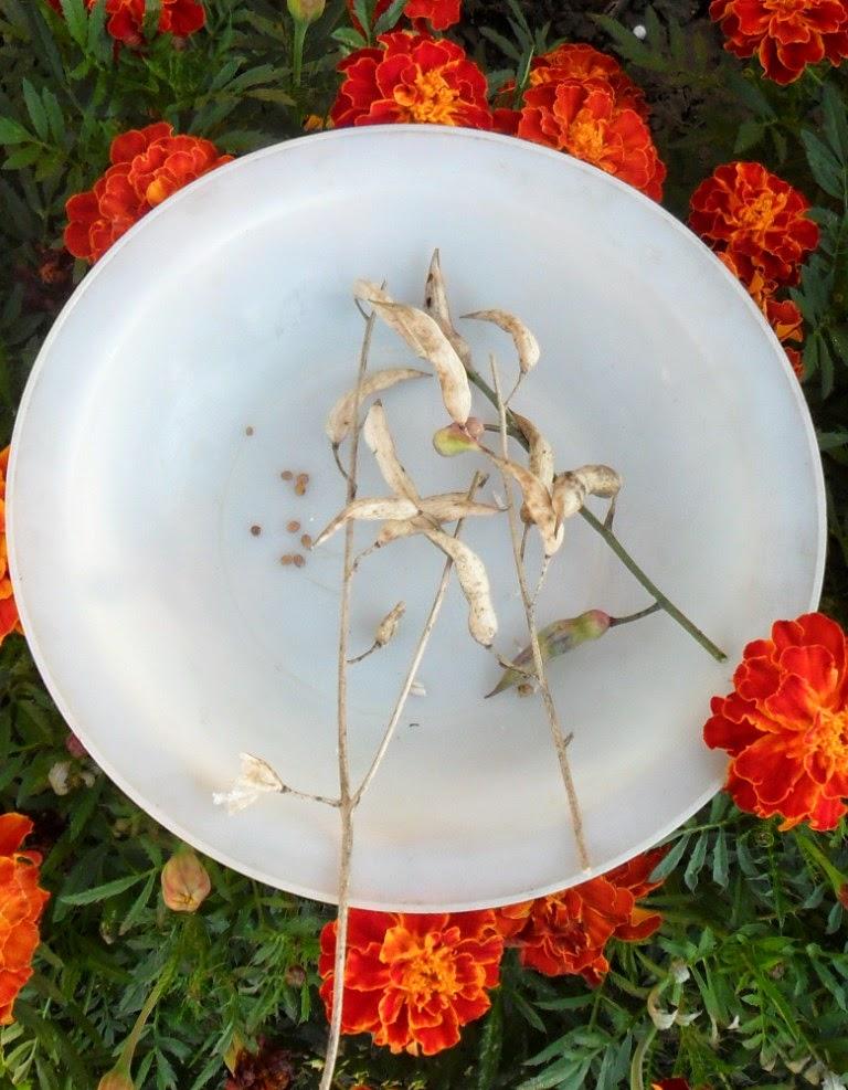 Стручочки и семена редиски