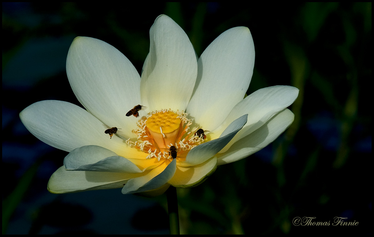 Thomas Finnie Photography The Life Cycle Of The Lotus Flower