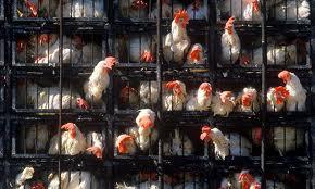 http://2.bp.blogspot.com/-o5ukpcUmyMM/UPqGIDF6KHI/AAAAAAAAJk4/iHi0vwyjXd4/s1600/cafo+chickens.jpg