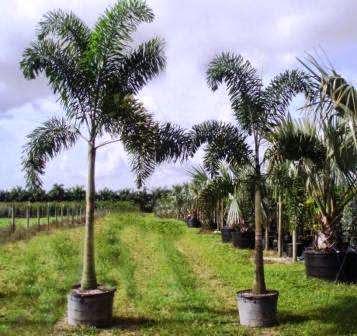 Jual palm ekor tupai | supllier tanaman hiar | jasa tukang taman