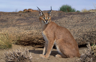 caracal cat animal rare pets picture wallpaper