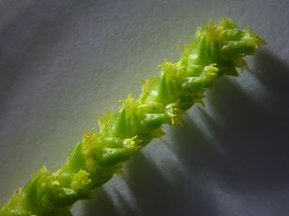 Crassula muscosa var. pseudolycopodiodes Flowers