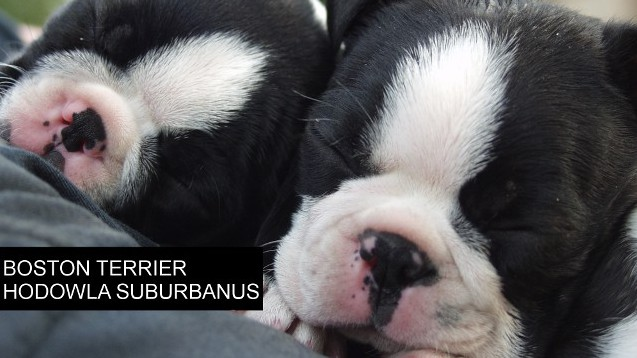 Boston Terrier -hodowla  Suburbanus