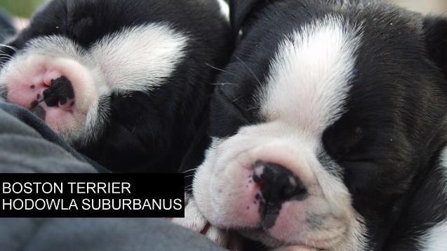 Boston Terrier -hodowla  Suburbanus