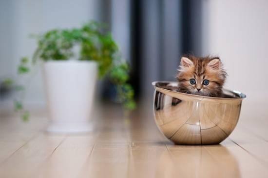 anak-kucing-cute-dalam-mangkuk