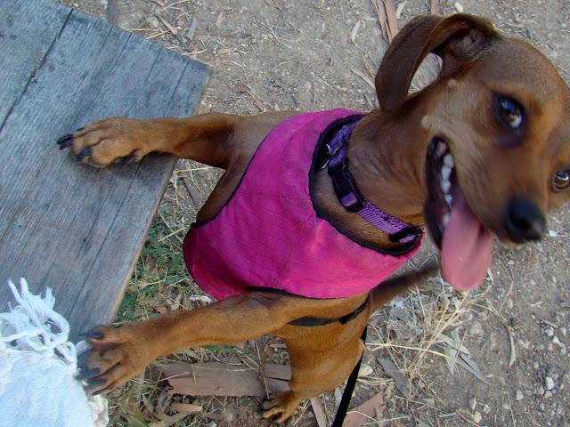 ellie the chiweenie chihuahua dachshund at a picnic in kennedy grove st paul's bay malta