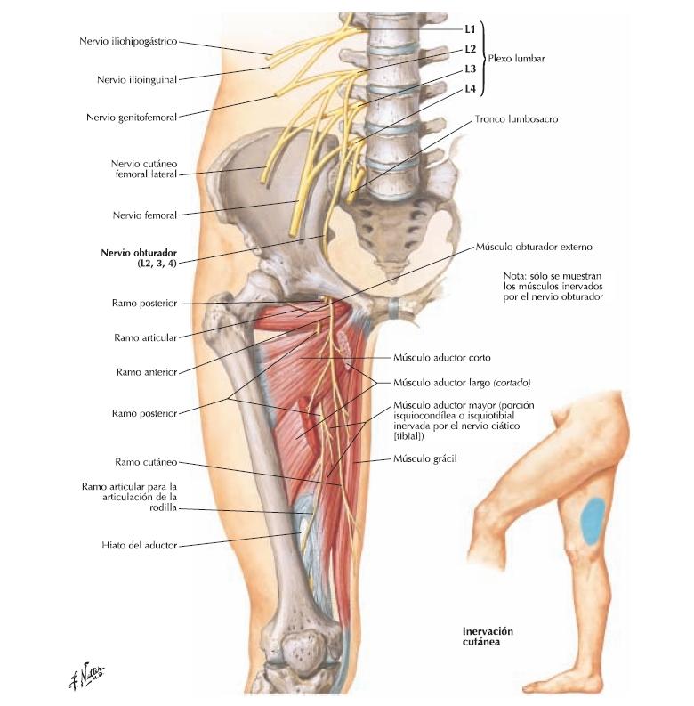 Resumen ramos terminales plexo lumbar | Anatomia Blog