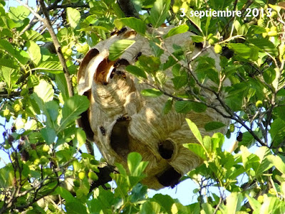 Avispa asiática (Vespa velutina nigrithorax) I parte