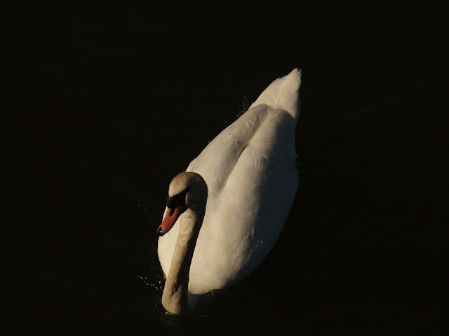 Swan on the Serpentine, Hyde Park, London