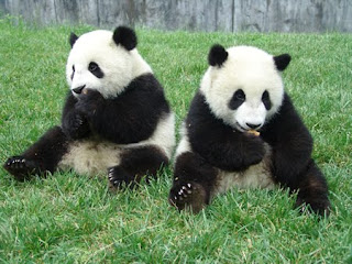 panda beer animal picture wallpaper wild rare zoo china herbivora info