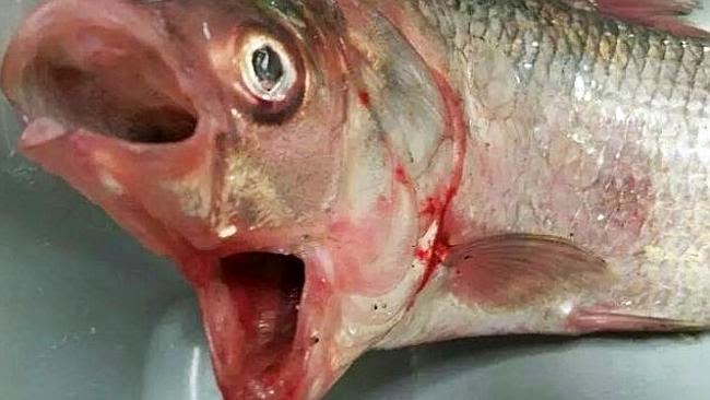 Ikan aneh bermulut dua